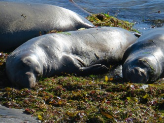 Elephant seals in California.