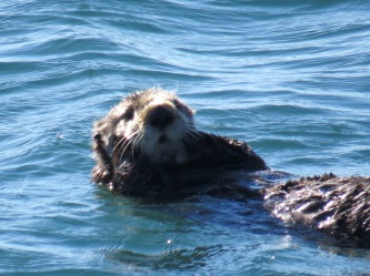 An otter in Morro Bay, CA.